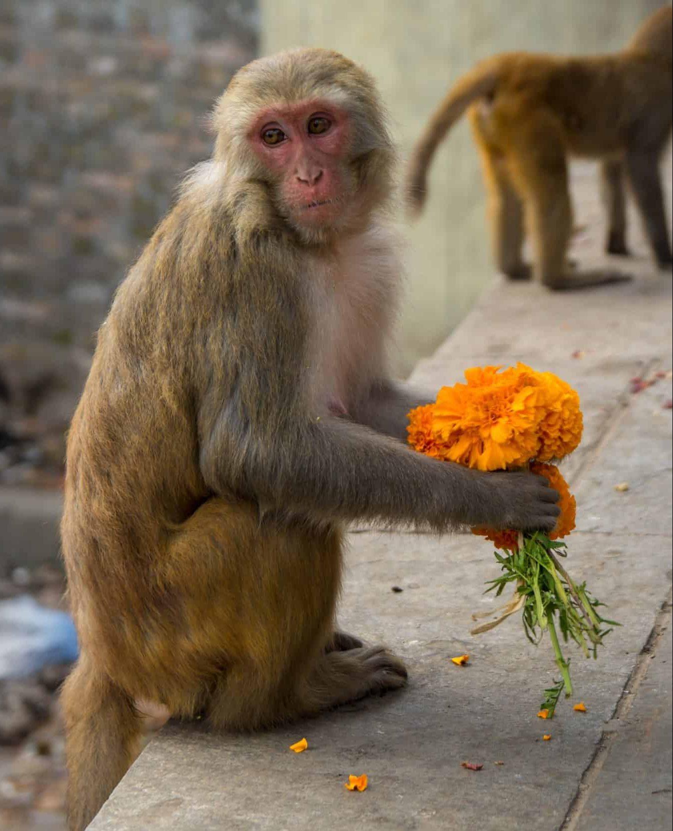 Marigold Monkey