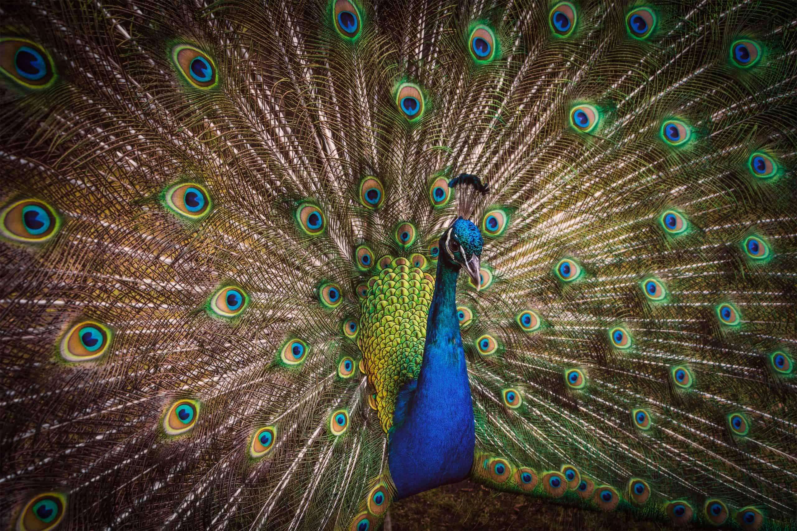 Peacock by Paul Carmona