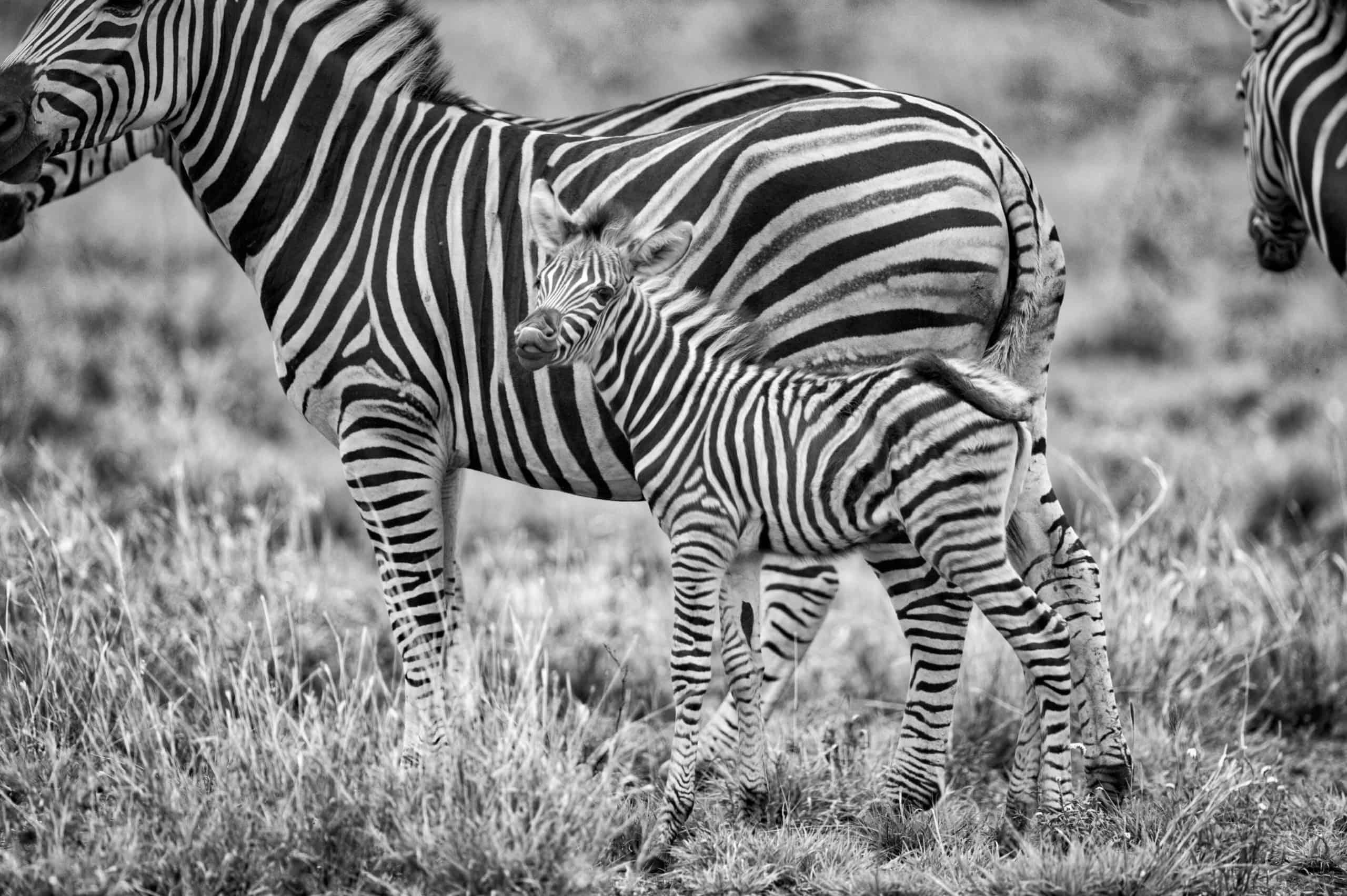 Zebras by Frans Van Heerden